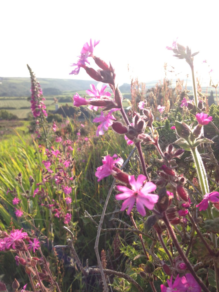 Campion and foxgloves, Carn Bosavern.