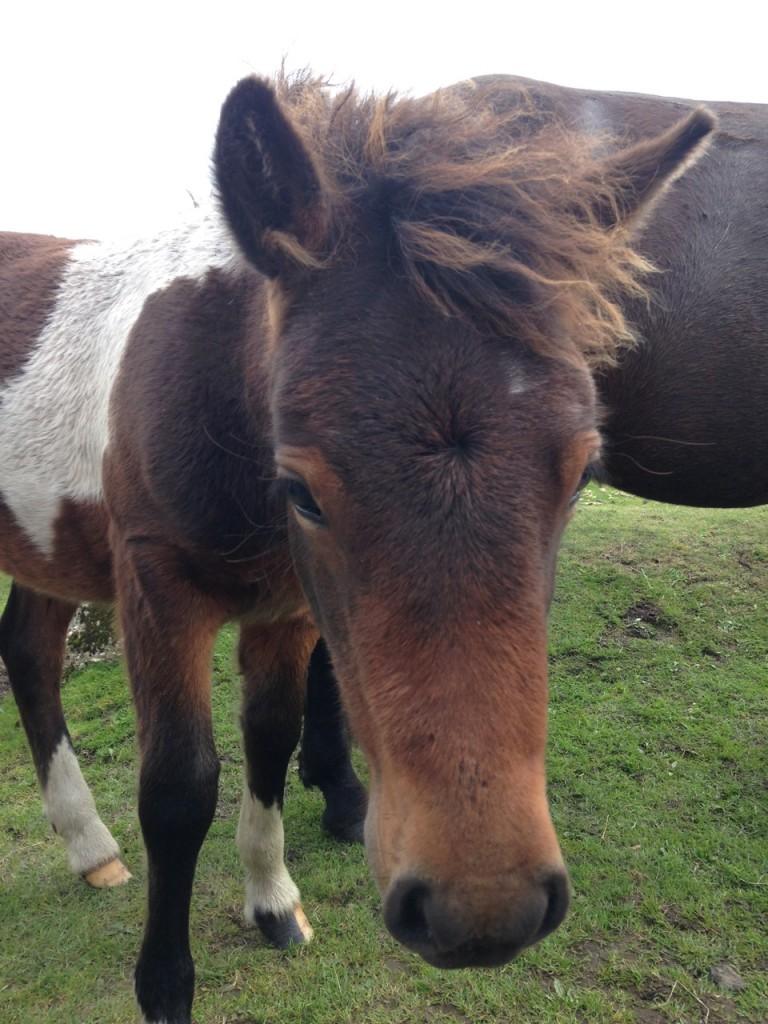 The friendly Dartmoor Ponies.