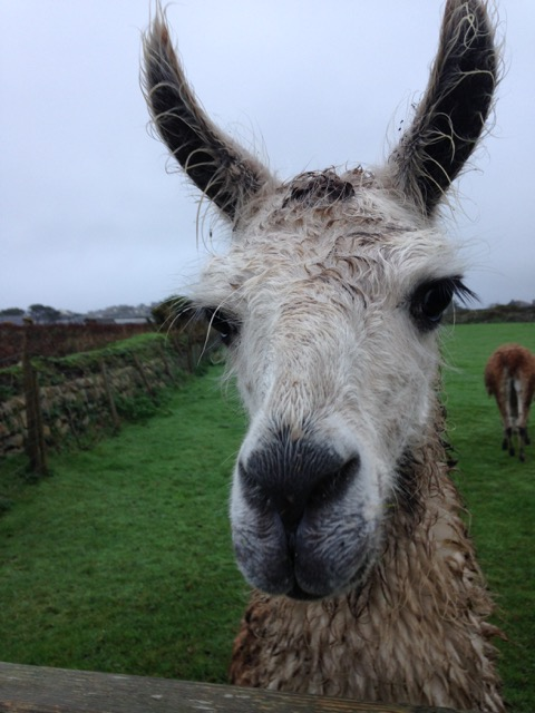 If you live in St Just then spotting a llama on your cliff walk is less surprising.
