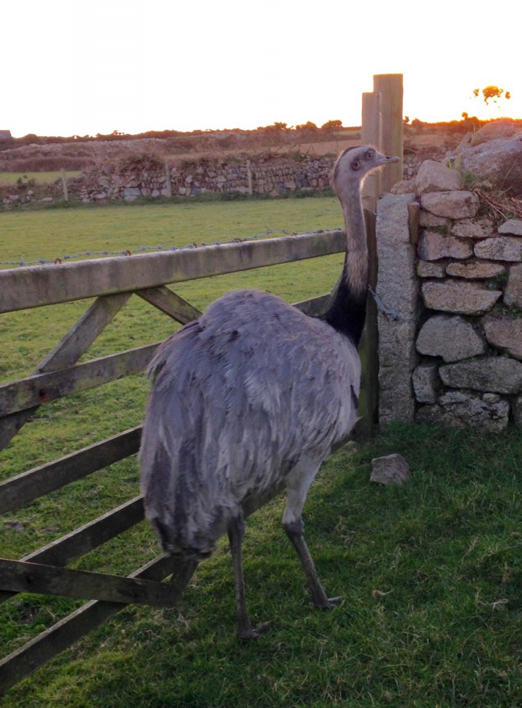 And here's a curiosity - an emu down the road at Bosorne.