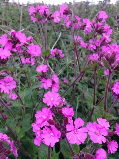 Campion - my favourite weed?