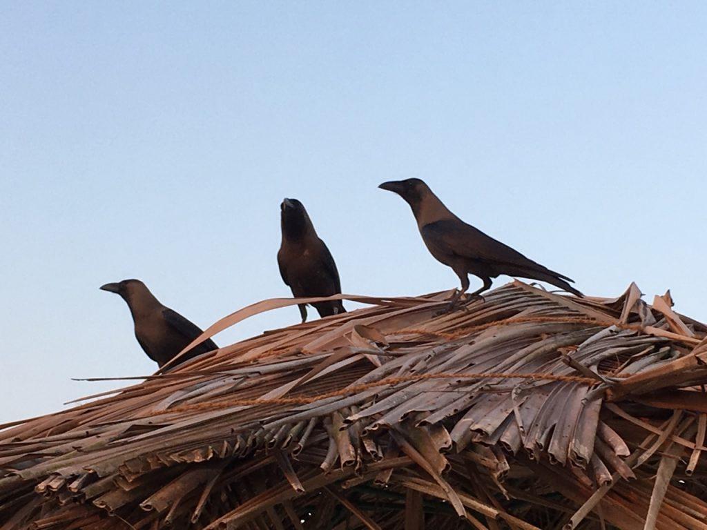 The elegant crows of Southern Goa.