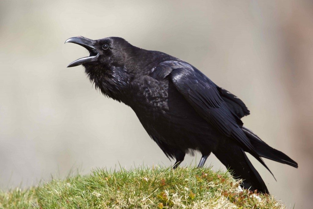 Calling raven - such a photo is an achievement, it's David Chapman's on Cornwall Wildlife.